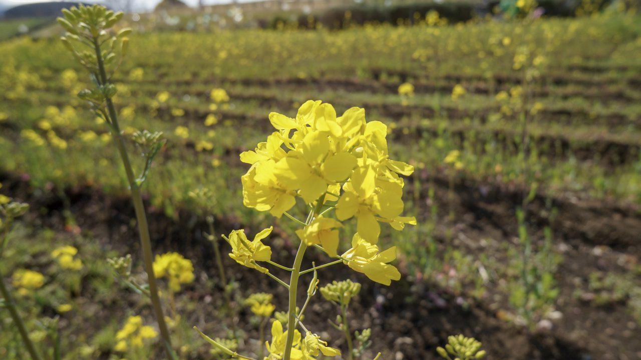 馬入 菜の花