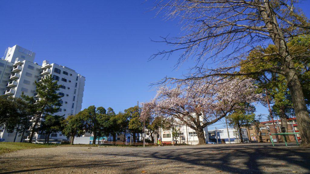 八幡山 桜
