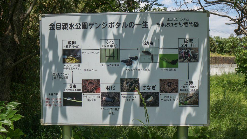 金目親水公園 ホタル1